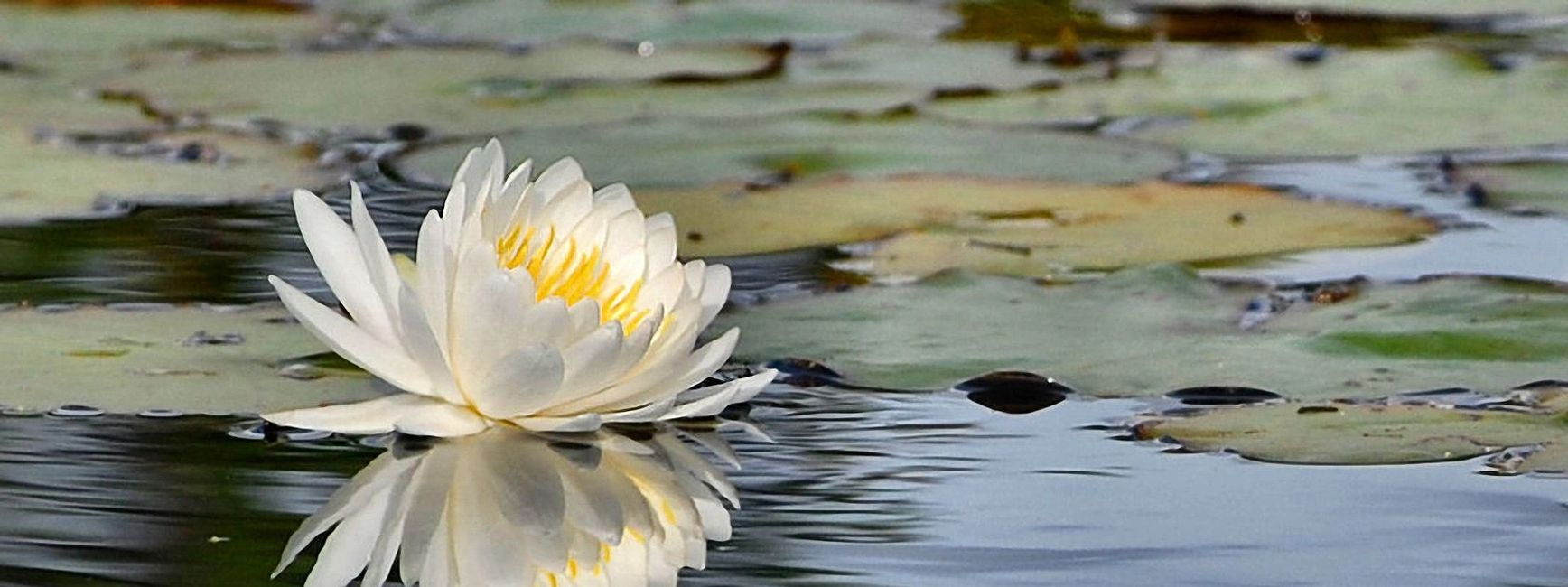 A white lily floats on still water with lily pads int he background.