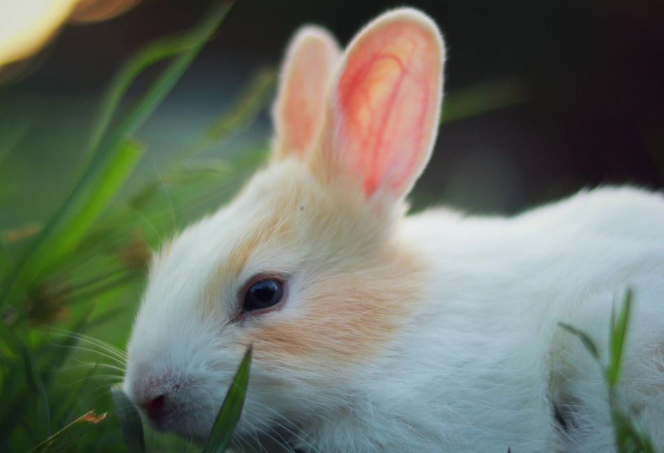 Photo of a white rabbit in the grass.