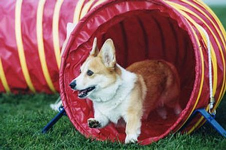 Obstacle Course Dog Training