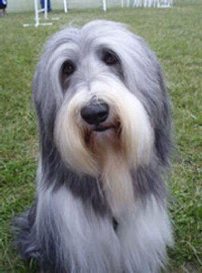 NJ Bearded Collie in for Dog Training