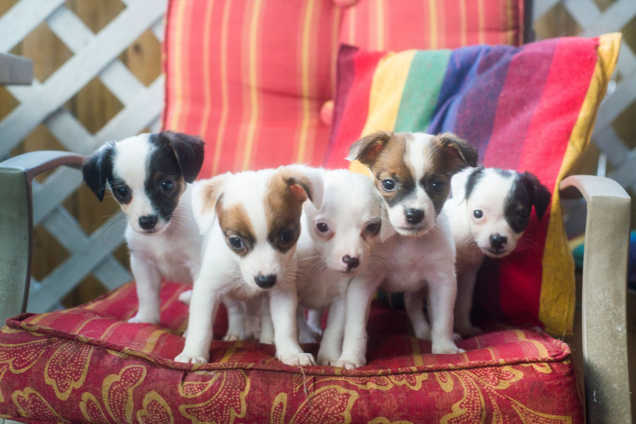 Five puppies stand side by side on a red chair.