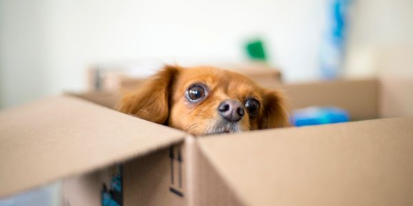 A small reddish-brown dog pokes her head out of an Amazon box.
