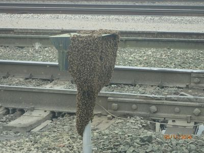 Honey Bee Swarm on a railroad traffic light. Contact Jeffrey now to save bees in KS or MO.