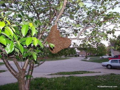 A bee swarm send scouts out looking for a new home.  Contact Jeffrey now to save bee in KS or MO.