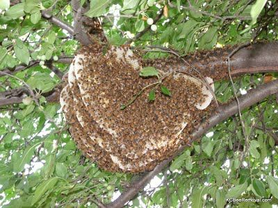 Bee hive removed from tree limbs. Contact Jeffrey now to save bees in KS or MO.