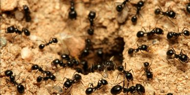 Black ants coming up from ground burrow