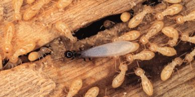 swarmer and worker termites destroying a piece of wood
