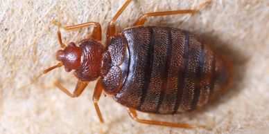 Bed Bug Adult close up.