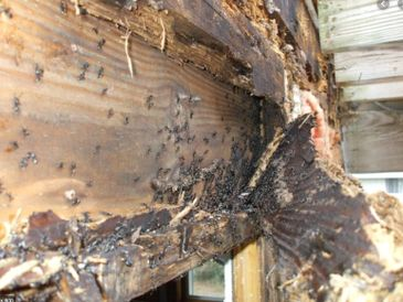 moisture problem that led to  carpenter ants invading and destroying wood