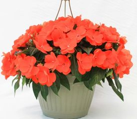 10 inch New guinea impatiens hanging basket
