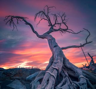 Burmis Tree shot by Stacy William Head of Sentinel Photography. Crowsnest Pass Senior Housing