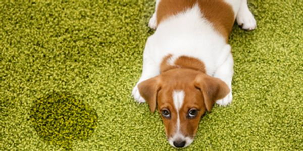 Pet stain and odor removal in Boca Raton and Delray Beach