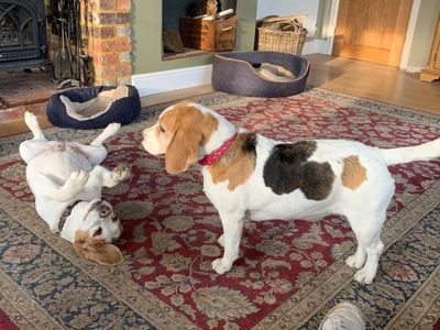We have two very friendly (and daft) Beagles, & one cat