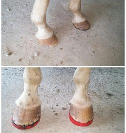 Ivory's hooves before and after being shod with composite shoes