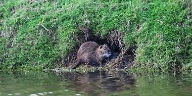 Nutria outside of den.