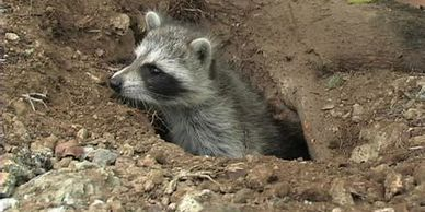Earth dwelling raccoon.