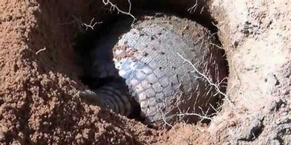 Armadillo in the earth.