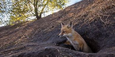 Red Fox emerging from den.