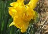 One of Aunt Ellen's beautiful old-fashioned double golden daffodils