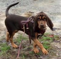 Storm comes to us from Sage Mountains Bloodhounds. She is a dual purpose K9 (tracking/hrd).