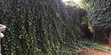 Overgrown ivy fence