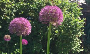 Liz Carter English Gardener - Aliums in Summer