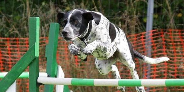 Advanced A Agility is for dogs who are comfortable on equipment & are able to run courses with no in