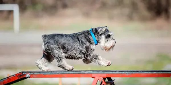 In Beginning Agility your dog will go over jumps, through tunnels, planks, weave polls and obstacles