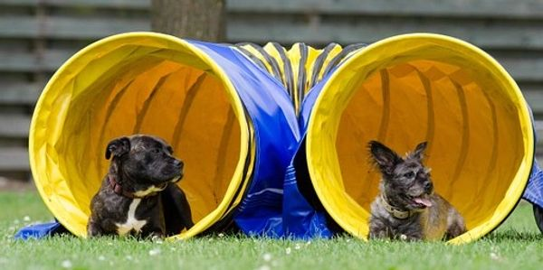 In Intermediate Agility your dog will be introduced to all agility equipment