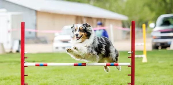 In Advanced B Agility your dog will do off leash work
