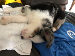 Toy Australian Shepherd puppies Miniature American Shepherds Blue eyed puppies