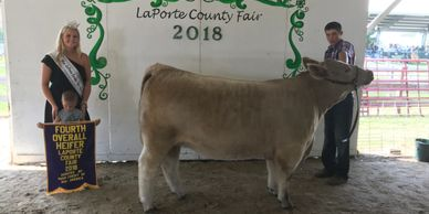 Champion Shorthorn Plus Female / Fourth Overall Heifer, LaPorte County Fair 2018