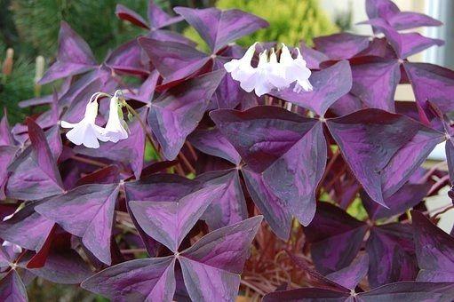 Oxalis Triangularis Bulbs Purple Shamrock 5 Love Plant Live Root Pips