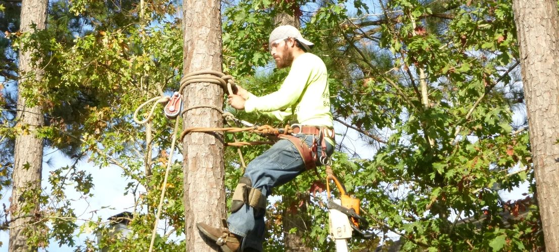 Bearded man in safety harness with chainsaw, boots, and safety glasses securing himself to pine tree