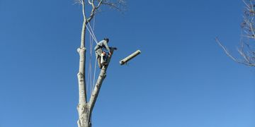 Man in a safety harness has released a large section from a tall tree.  The sky is semi dark blue.