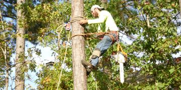 Man with safety boots using a pulley system safety harness to keep himself safe climbing a pine tree