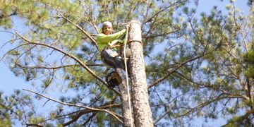 Man wearing yellow shirt using safety harness and ropes to secure himself atop a tall pine tree