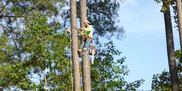 Man wearing hat and blue jeans in safety harness climbing a pine tree carrying a chainsaw