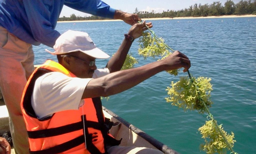 Dr. Sulaiman O Olanrewaju farming Seaweed in Malaysia for clean water and fresh air.