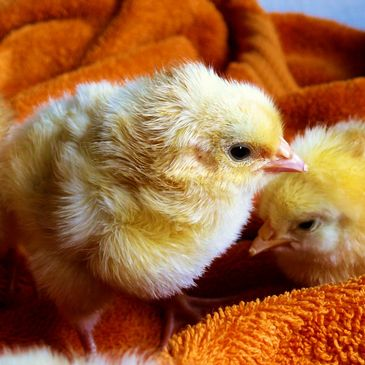 baby chicks keeping warm