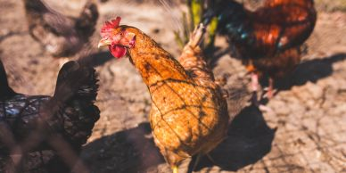 Raising Chickens, Safety Tips, Best Practice & More
