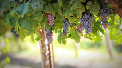 Bunches of ripe purple grapes hanging from vines in Margaret River Vineyard