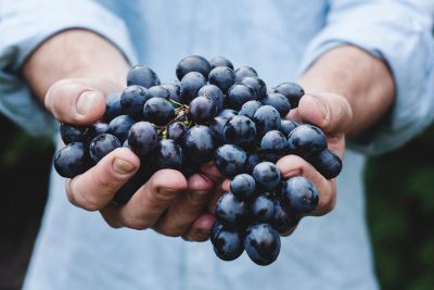 Chef holding bunch of dark red ripe grapes with both hands
