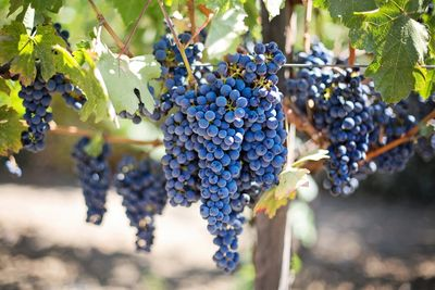 Ripe grapes on the vine at a local vineyard just before the recent harvest...