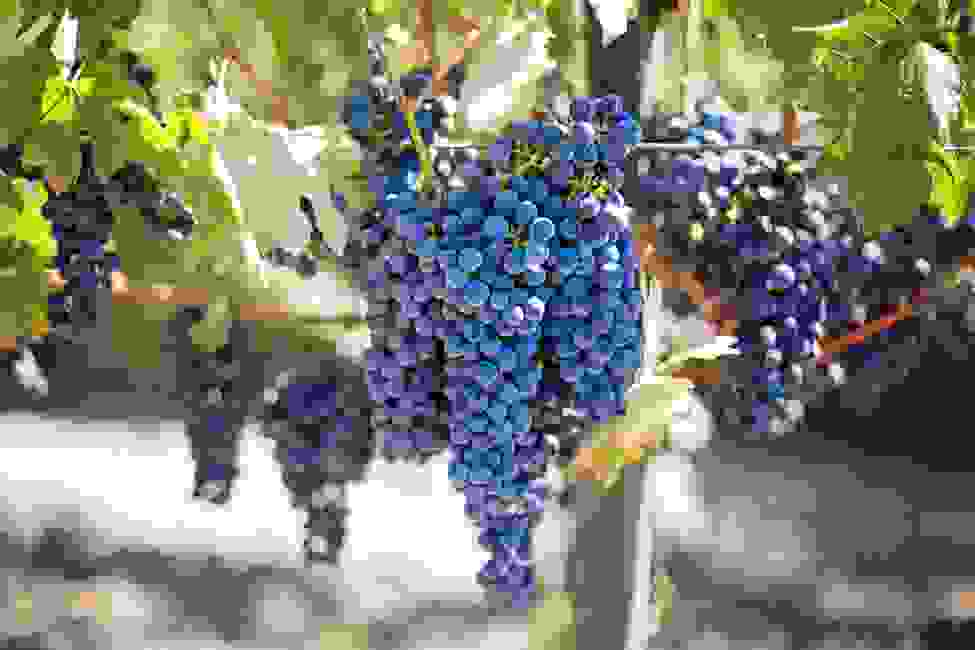 petite sirah grapes hanging before harvest