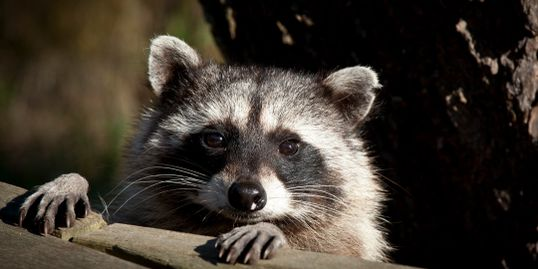 raccoon at rock rescue