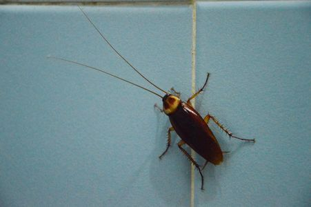 Large species of cockroach