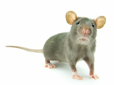 Rat and mice removal