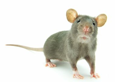 Rat control in Winchester call RIDTEK