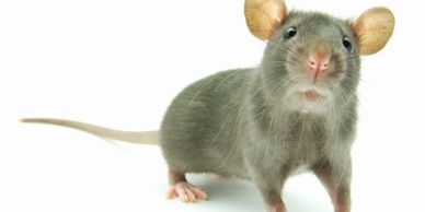 Rodents invite themselves in and make themselves at home in your  wall cavities, roof voids.
